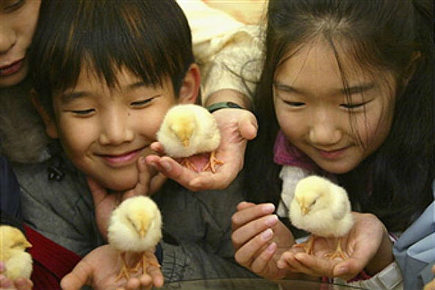 baby chicks and kids
